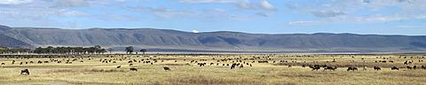 Blue Wildebeest (Connochaetes taurinus), migration, Ngorongoro Crater, Tanzania, Africa