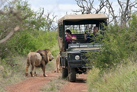 Group of lions (Panthera leo) walking past a safari vehicle, Hlane Royal National Park, Swaziland, Africa