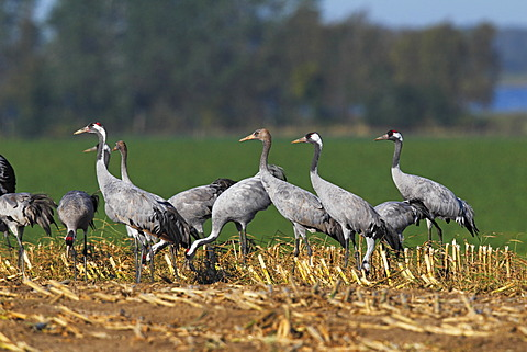 Cranes, gray cranes (Grus grus), young birds and adult birds, migration, foraging on a harvested cornfield, Ruegen-Bock region, Western Pomerania Lagoon Area, Mecklenburg-Western Pomerania, Germany, Europe
