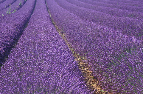 True Lavender (Lavandula angustifolia), lavender field, Provence, France, Europe
