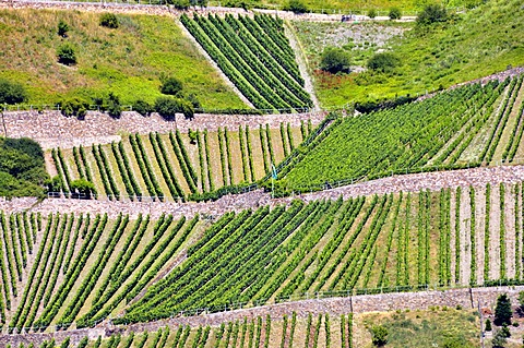 Vineyards above Lorchhausen in the Rheingau district, Hesse, Germany, Europe