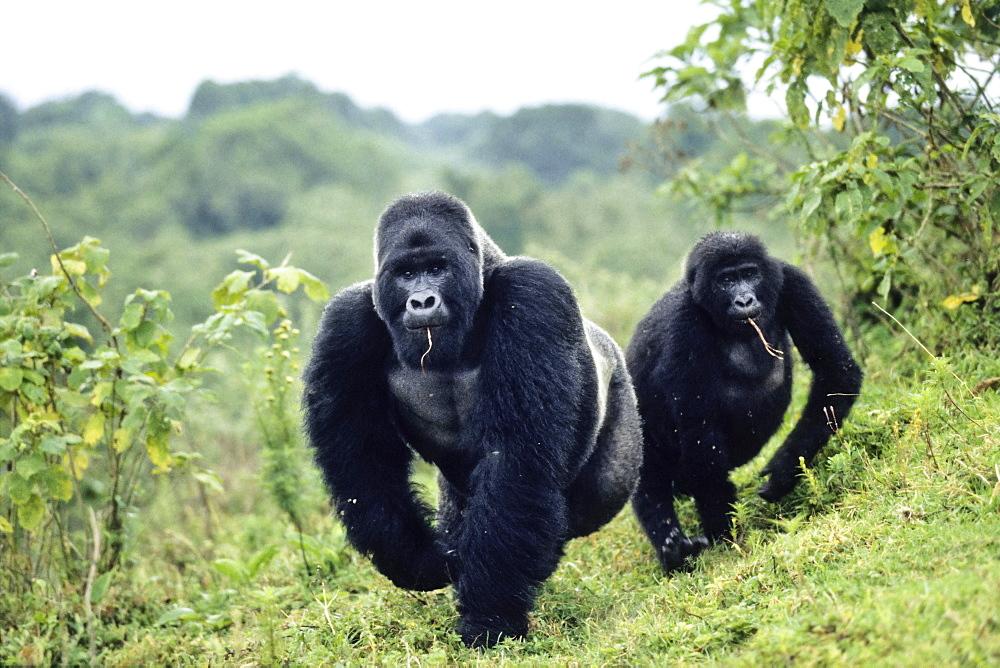 Western Lowland Gorilla (Gorilla gorilla gorilla), silver back and female, Virunga National Park, Congo, Africa