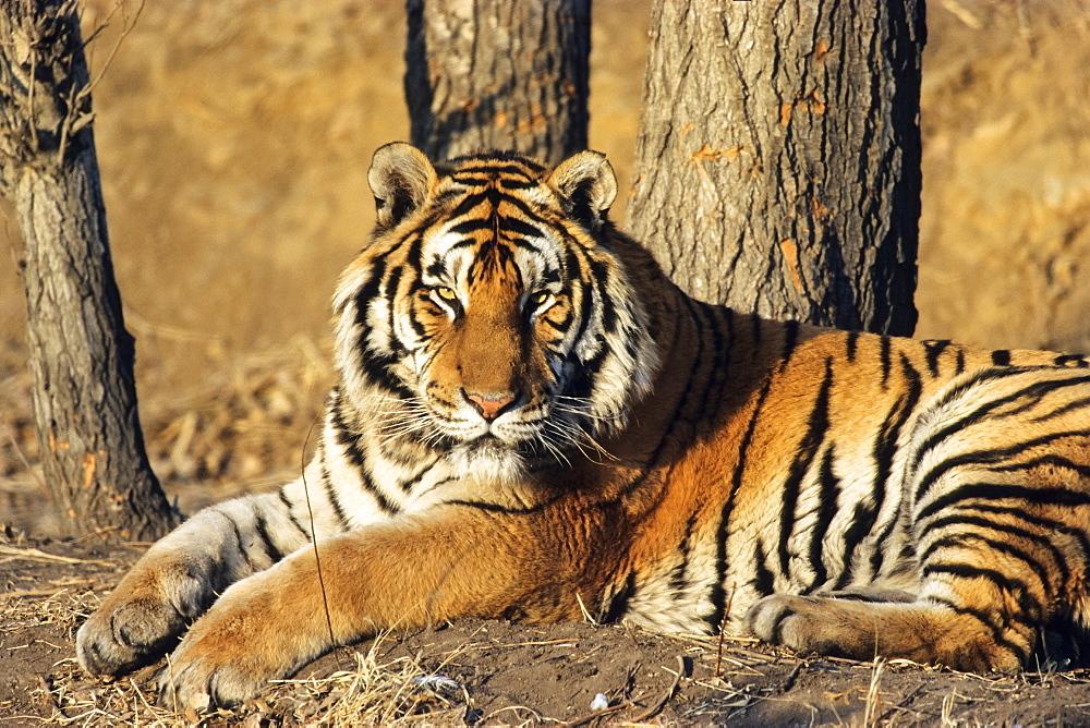Siberian Tiger (Panthera tigris altaica), Siberia Tiger Park, Harbin, China, Asia