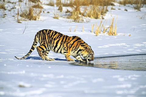 Siberian Tiger (Panthera tigris altaica), in the snow, drinking water, Gamefarm, Rocky Mountains, Colorado, USA