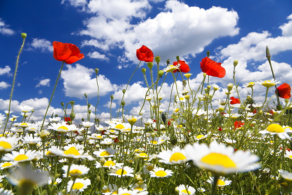 Floral meadow with red Poppies (Papaver rhoeas) and Austrian Chamomile (Anthemis austriaca), Bulgaria, Europe