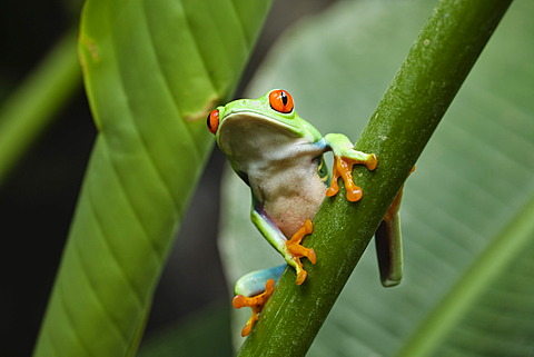 Red-eyed Treefrog (Agalychnis callidryas), rainforest, Costa Rica, Central America