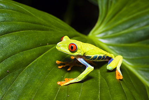 Red-eyed Treefrog (Agalychnis callidryas), rainforest, Costa Rica, Central America