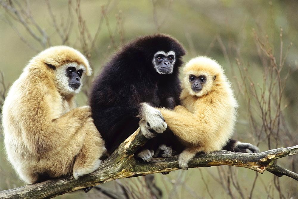 Lar Gibbon (Hylobates lar), zoo, Southeast Asia, captive