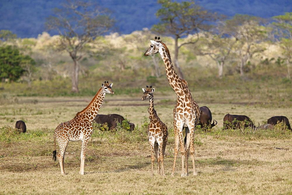 Massai, Maasai, Masai Giraffe or Kilimanjaro Giraffe (Giraffa camelopardalis tippelskirchi), with young and African buffalos (Syncerus caffer), Arusha National Park, Tanzania, East Africa, Africa