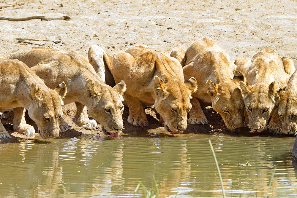 African Lions (Panthera leo) drinking at waterhole, females, Ruaha National Park, Tanzania, East Africa, Africa