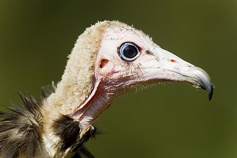 Hooded vulture (Necrosyrtes monachus), portrait