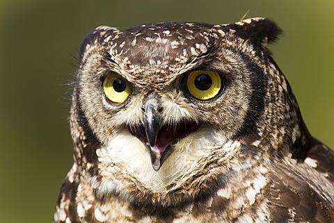 Spotted eagle-owl (Bubo africanus), portrait