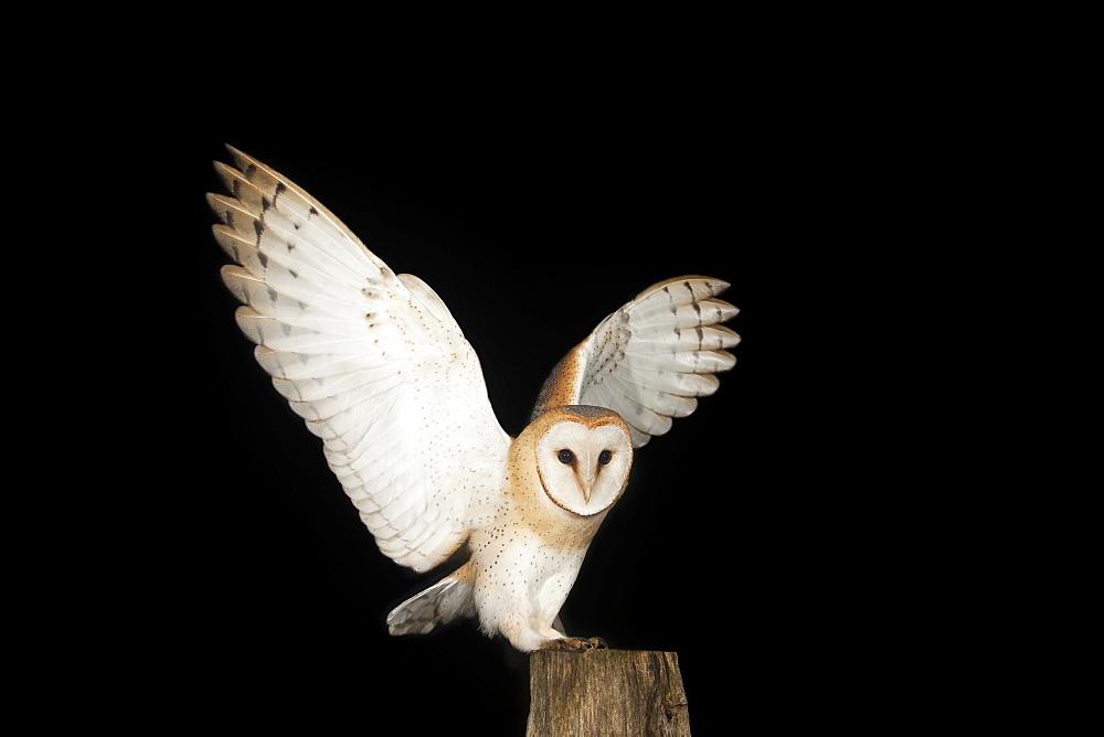 Barn Owl (Tyto alba) on a fence post, Volcanic Eifel, Rhineland-Palatinate, Germany, Europe