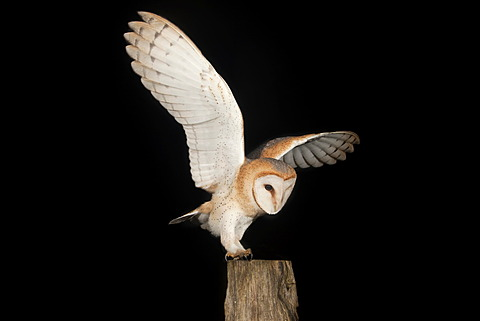 Barn Owl (Tyto alba) with a mouse on a fence post, Volcanic Eifel, Rhineland-Palatinate, Germany, Europe