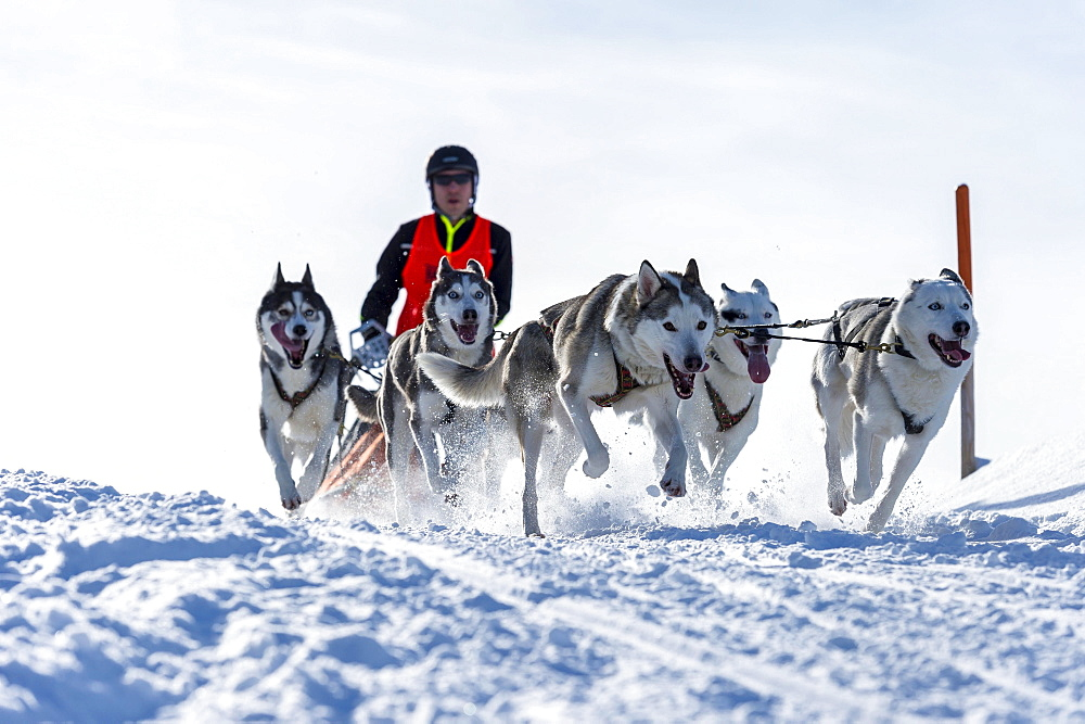 Sled dog racing, sled dog team in winter landscape, Unterjoch, Oberallgäu, Bavaria, Germany, Europe - 832-378477