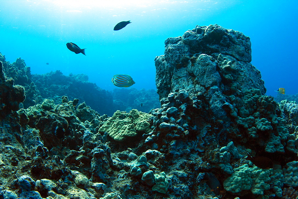 Shallow reef, diving on the Kohala Coast, Big Island, Hawaii, USA, North America