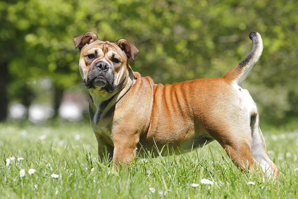 Continental Bulldog, bitch, 6 months stands sideways on the meadow, North Rhine-Westphalia, Germany, Europe