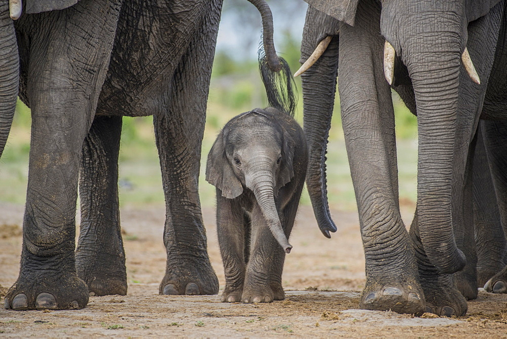African elephant (Loxodonta africana), a few days old calf, Chobe National Park, Chobe District, Botswana, Africa - 832-378781