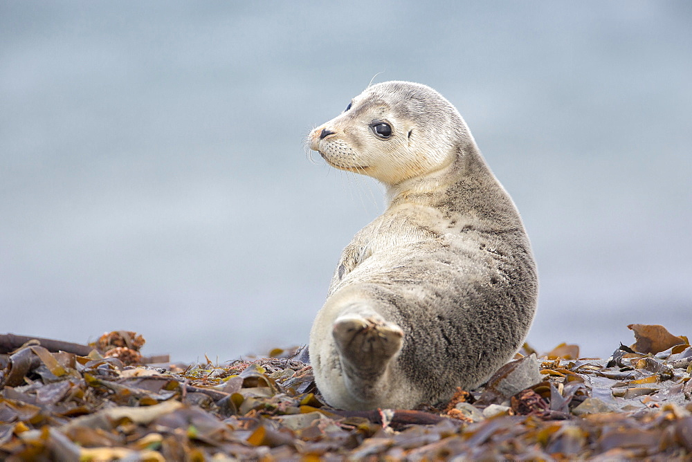 Harbor seal (Phoca vitulina) Young animal, Schleswig-Holstein, Helgoland, Germany, Europe