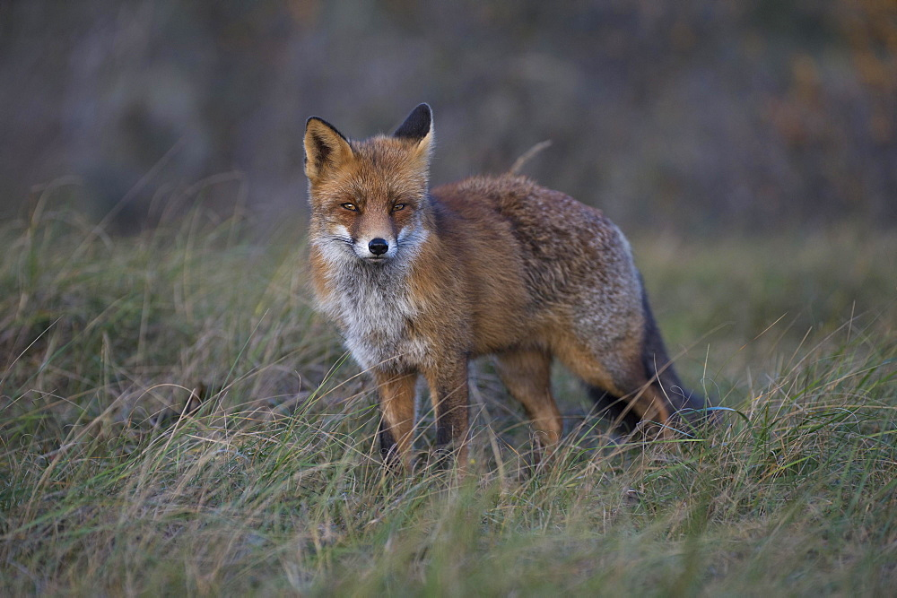 Red fox (Vulpes vulpes), Nordholland, Netherlands