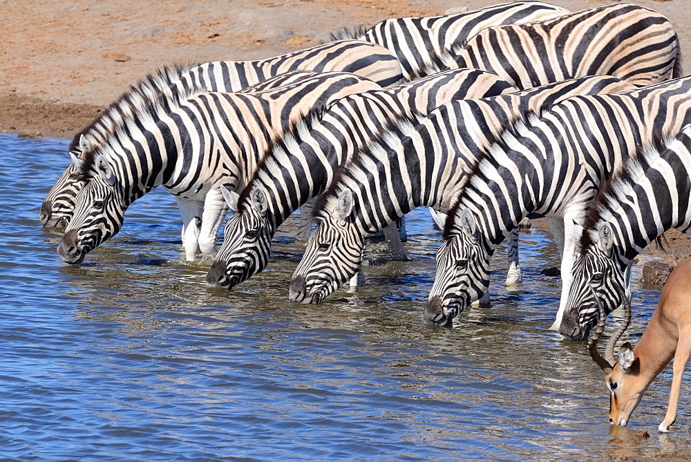 Herd of Burchell's zebras (Equus quagga burchellii) and Black-faced impala (Aepyceros melampus petersi), drinking at waterhole, Etosha National Park, Namibia, Africa