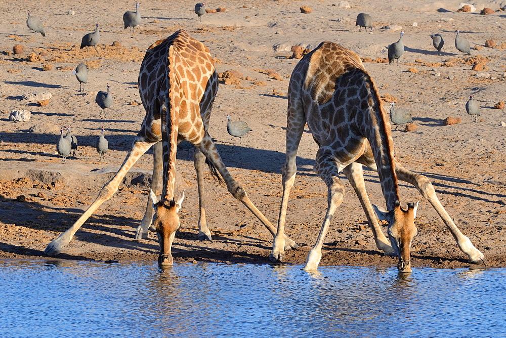 Angolan giraffes (Giraffa camelopardalis angolensis) drinking at waterhole, helmeted guineafowls (Numida meleagris) at back, Etosha National Park, Namibia, Africa