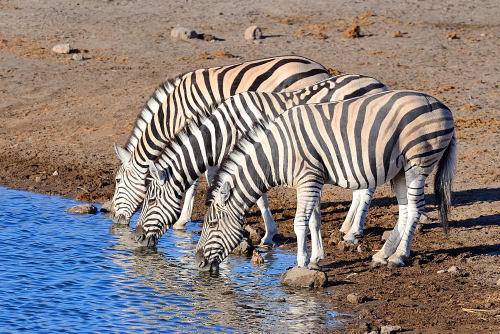 Burchell's zebras (Equus quagga burchellii), drinking at waterhole, Etosha National Park, Namibia, Africa