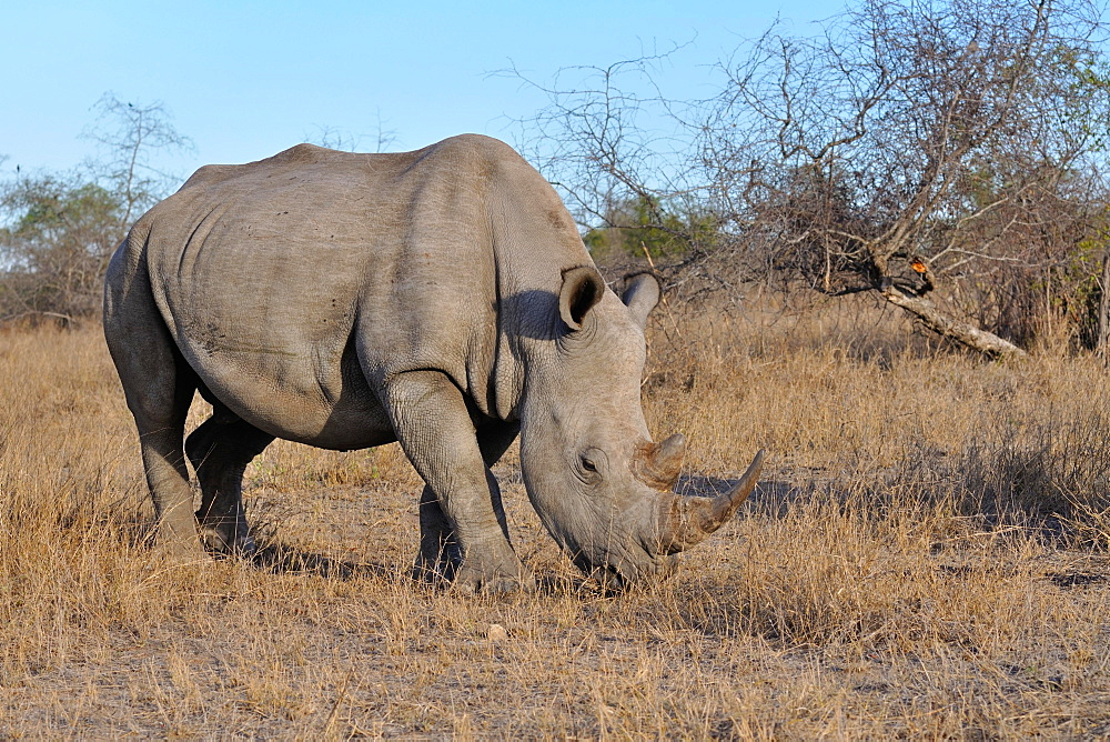 White rhinoceros or Square-lipped rhinoceros (Ceratotherium simum), adult male grazing, Kruger National Park, South Africa, Africa - 832-378831