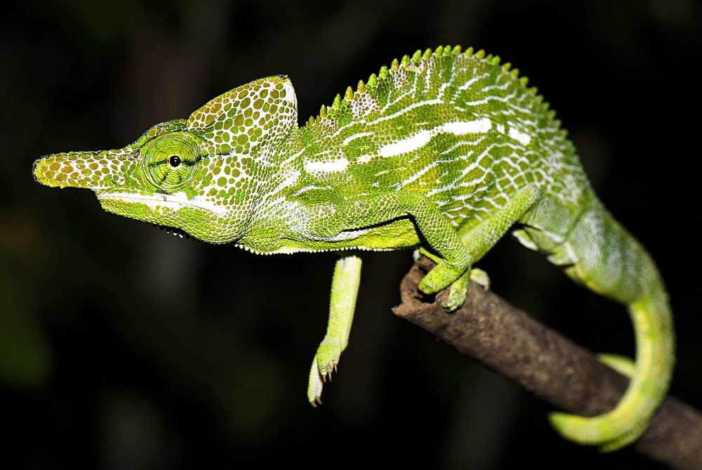 Labord's chameleon (Furcifer labordi), male, Kirindy National Park, Madagascar, Africa