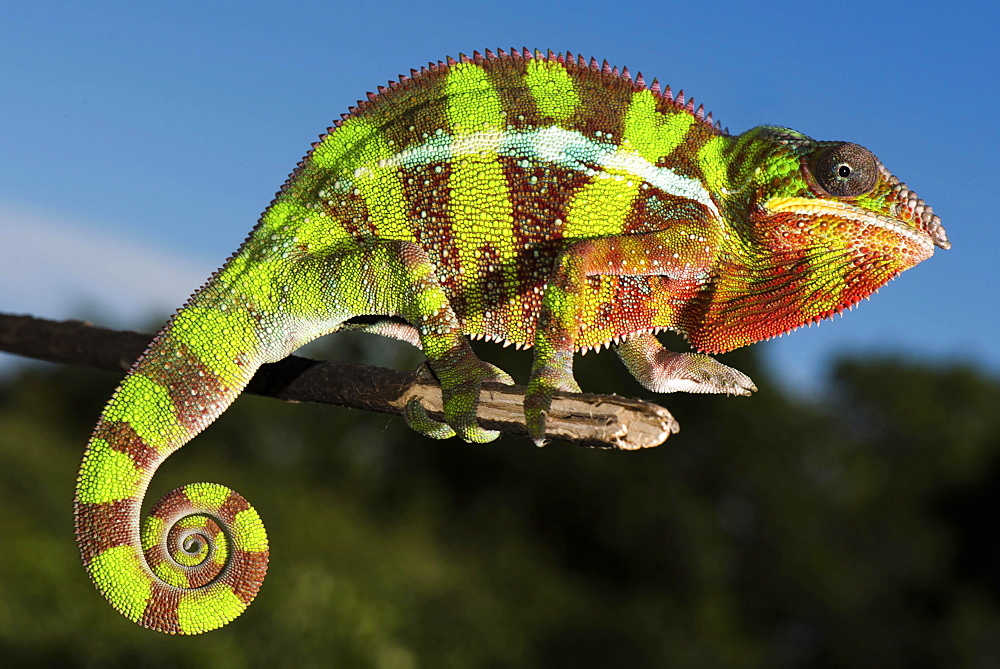 Panther chameleon (Furcifer Pardalis), male on branch, Ambilobe, Diana, Madagascar, Africa