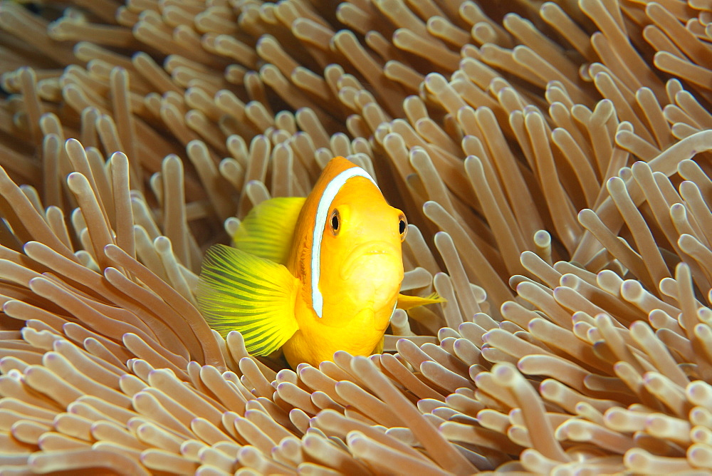 Maldive anemonefish (Amphiprion nigripes), magnificent sea anemone (Heteractis magnifica), Indian Ocean, Maldives, Asia