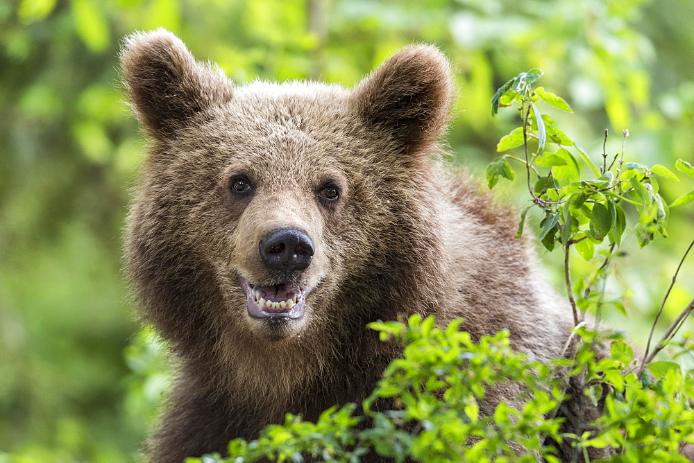 European brown bear (Ursus arctos arctos), animal portrait, Notranjska Region, Slovenia, Europe