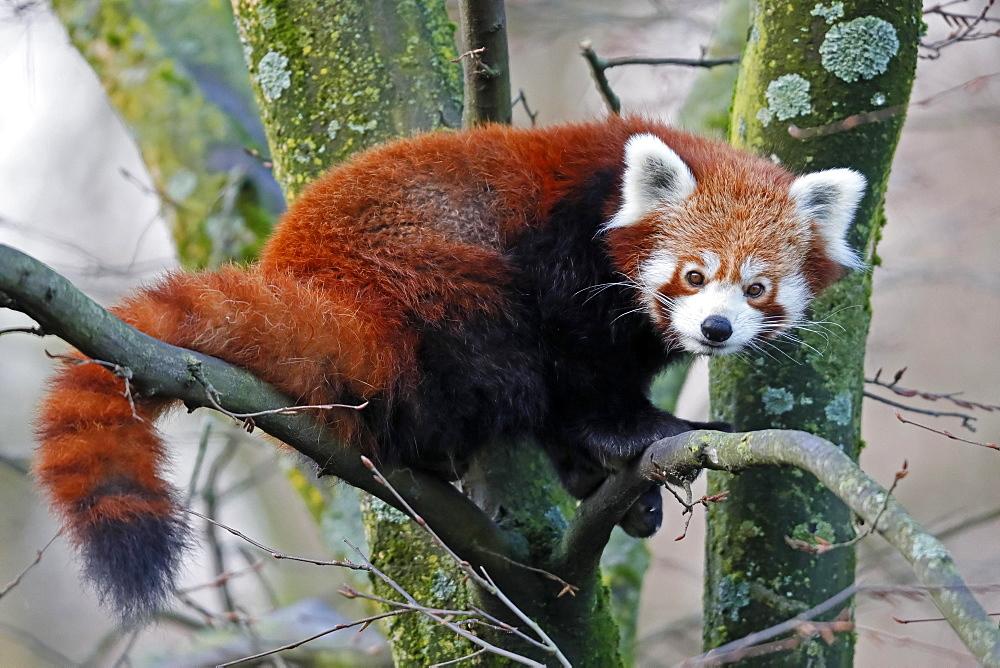Red pandabear (Ailurus fulgens), captive, Germany, Europe