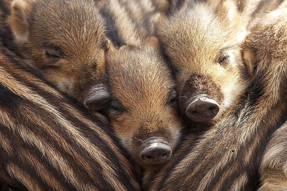 Wild boars (Sus scrofa), shoats lying close together, North Rhine-Westphalia, Germany, Europe - 832-378941