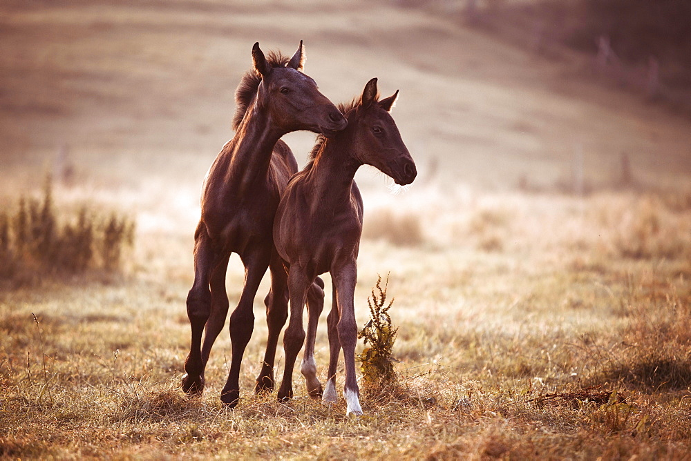 Two small brown foals in the morning fog on the pasture, Germany, Europe