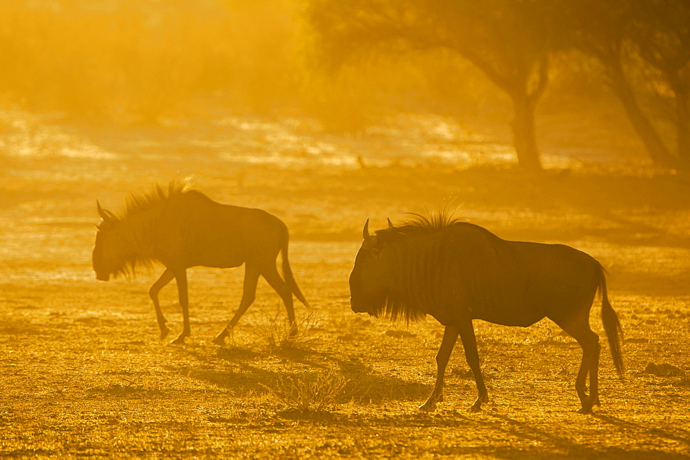Blue wildebeest (Connochaetes taurinus), morning light, Kgalagadi Transfrontier Park, Northern Cape, South Africa, Africa