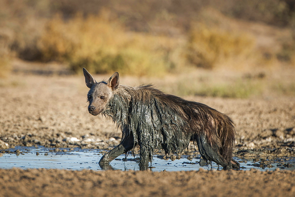 Brown hyena (Hyaena brunnea) at waterhole after mud bath, Kgalagadi Transfrontier Park, Northern Cape, South Africa, Africa