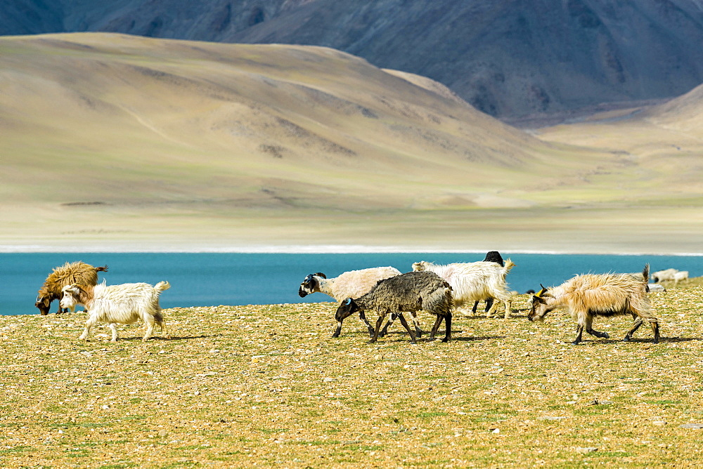 Barren landscape with a flock of Pashmina Goats (Capra aegagrus hircus) and the turquoise water of lake Tso Moriri, Changtang area, Korzok, Jammu and Kashmir, India, Asia