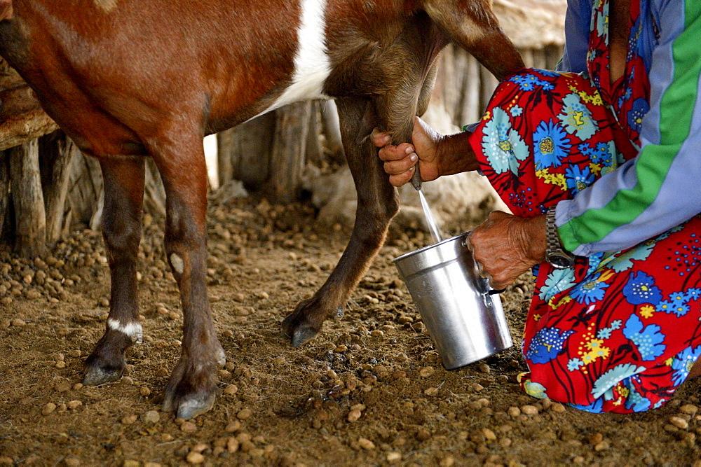 Woman milking a goat (Capra hircus aegagrus), Caladinho, Uaua, Bahia, Brazil, South America