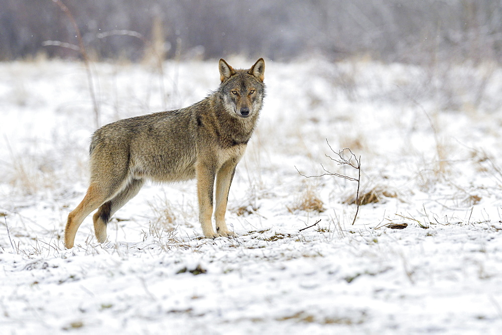 Eurasian Wolf (Canis lupus lupus) attentive on a clearing in winter, Forest Carpathians, facing camera, Forest Carpathians, Poland, Europe
