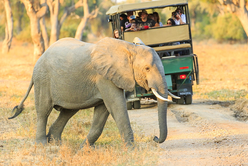African Elephant (Loxodonta africana) in front of a safari car, South Luangwa National Park, Zambia, Africa