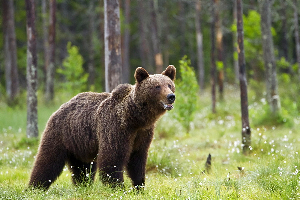 Brown bear (Ursus arctos) in Finnish taiga, Kainuu, North Karelia, Finland, Europe