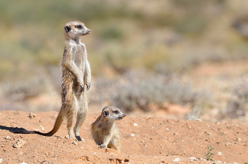 Meerkats (Suricata suricatta), adult male upstanding, attentive, with a pup, at the burrow entrance, Kgalagadi Transfrontier Park, Northern Cape, South Africa, Africa