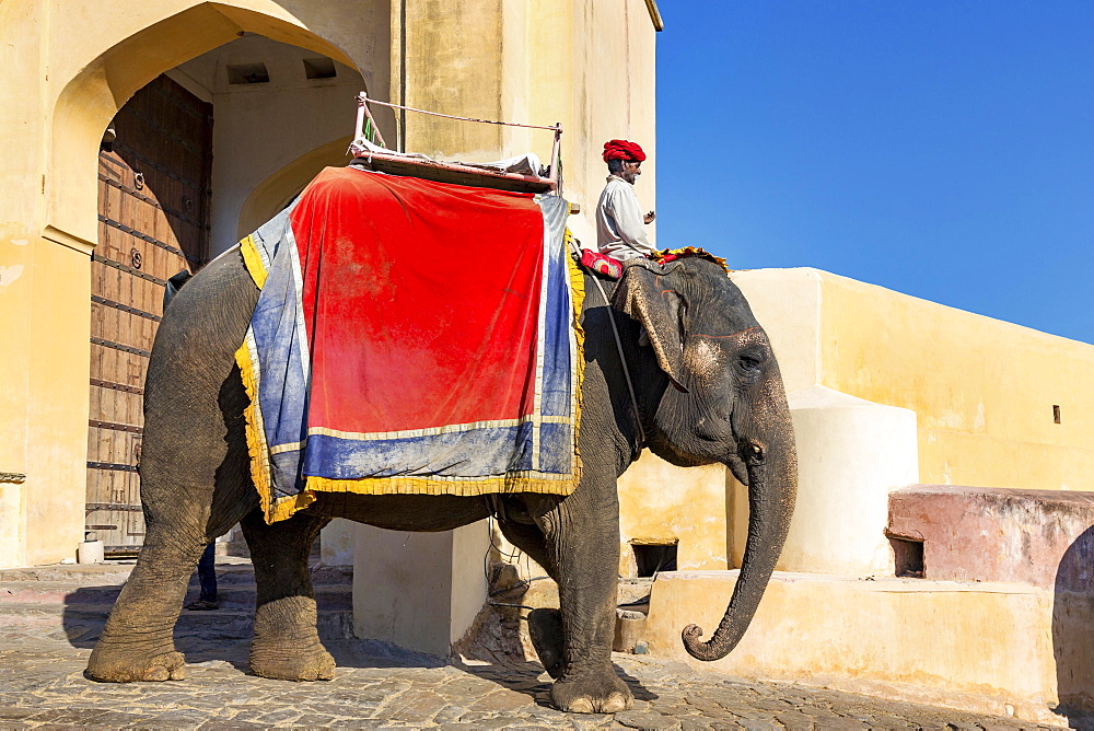 Elephant for carrying tourists up to Amber Fort, near Jaipur, Rajasthan, India, Asia