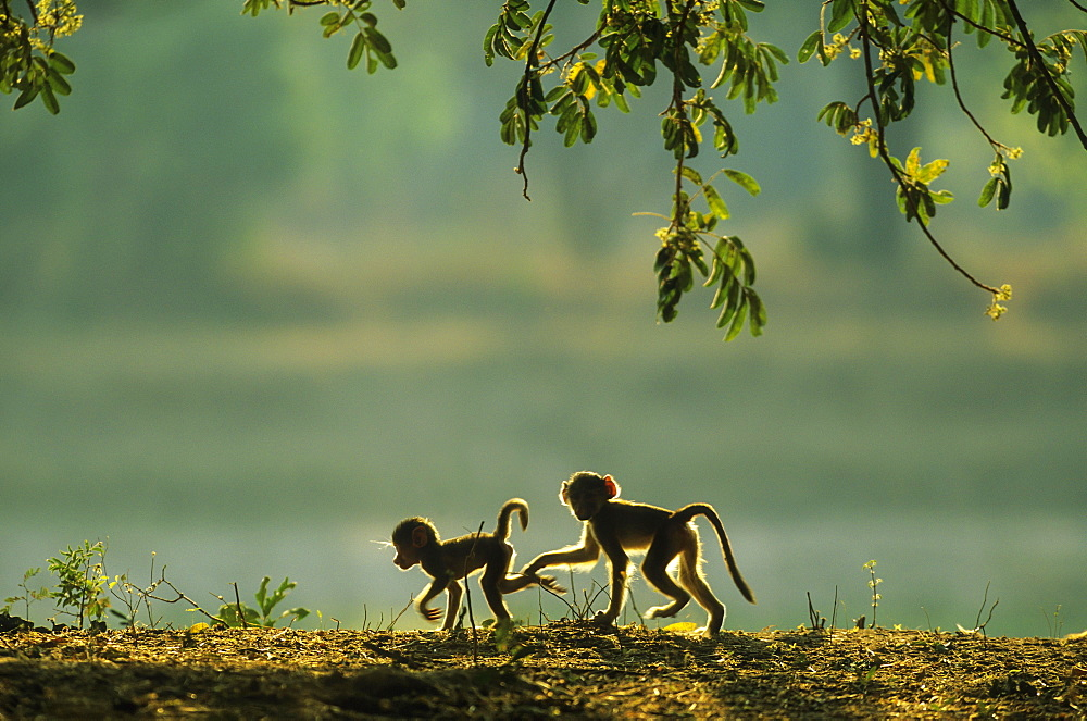 Yellow Baboon (Papio cynocephalus), two playful young in the early morning, South Luangwa National Park, Zambia, Africa