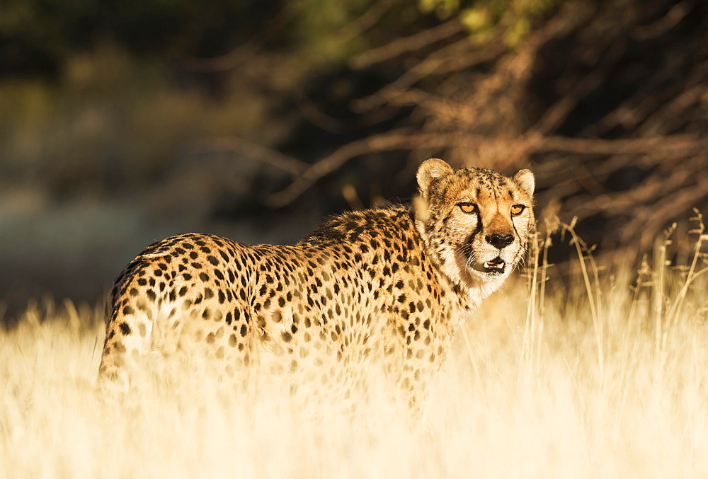 Cheetah (Acinonyx jubatus), male, standing in high grass, captive, Namibia, Africa