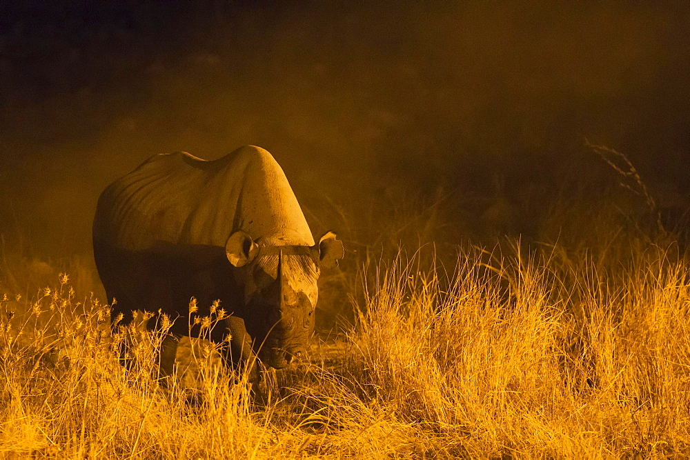 Black rhinoceros or hook-lipped rhinoceros (Diceros bicornis) cow near floodlit waterhole of Okaukuejo Camp during night, Etosha National Park, Namibia, Africa