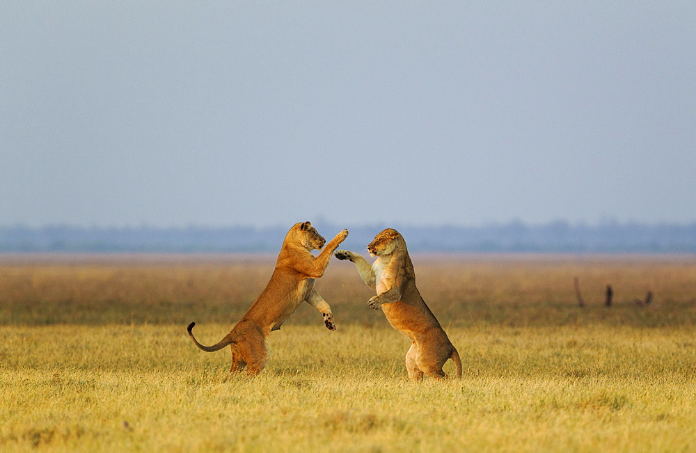 Lions (Panthera leo), two lionesses, playing at dawn, Savuti, Chobe National Park, Botswana, Africa