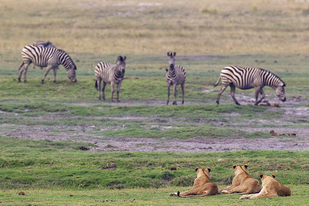 Three lions (Panthera leo) and a group of Burchell's Zebra (Equus quagga burchelli), Chobe National Park, Botswana, Africa
