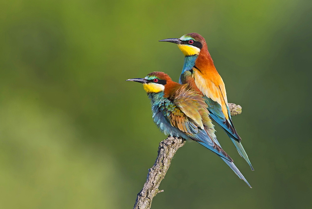 Bee-eater (Merops apiaster), pair, mating, Saxony-Anhalt, Germany, Europe